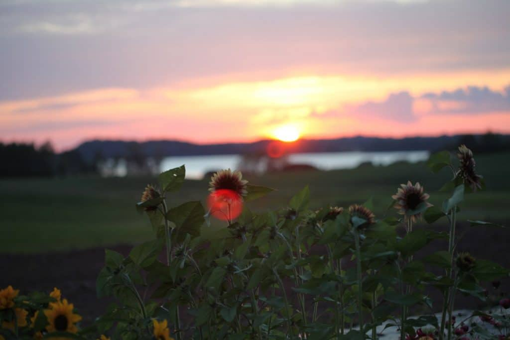 sunflowers with sunset in the background