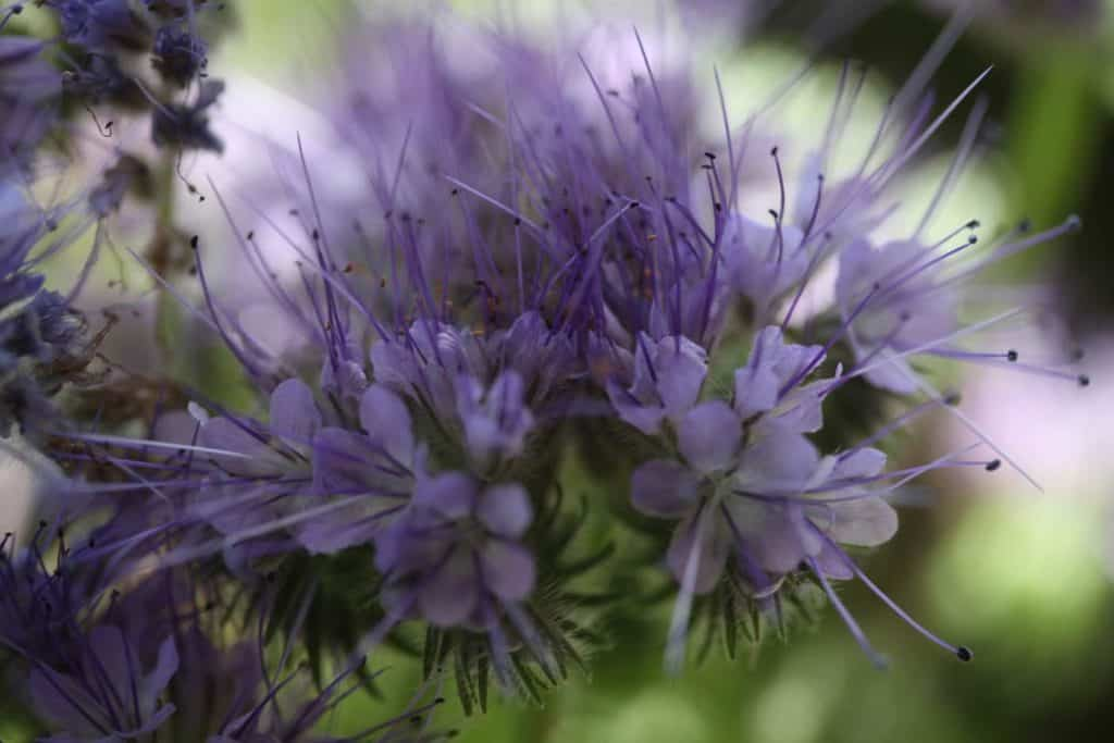 purple blooms with spikes against a green blurred background