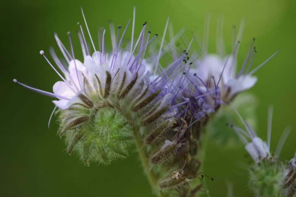 purple flowers with spiky parts unfurling against a green blurred background