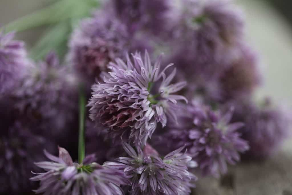 purple chive blossoms against a blurred background