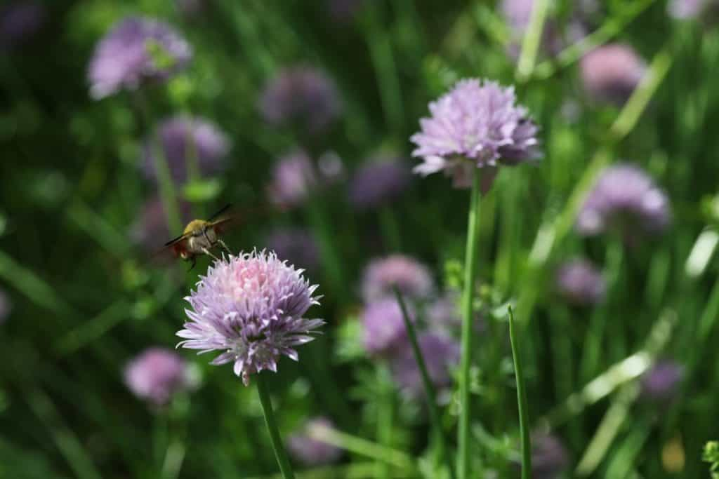 purple blossoms of chives in the garden
