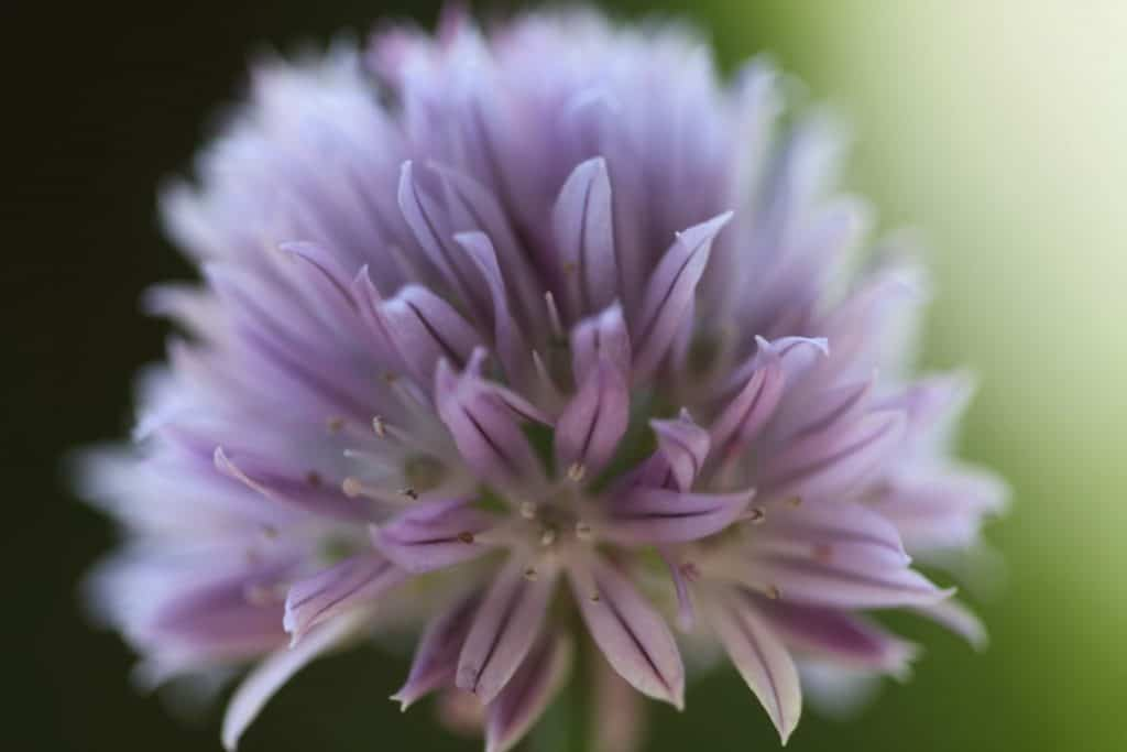 close up of a purple chive bloom against a green blurred background