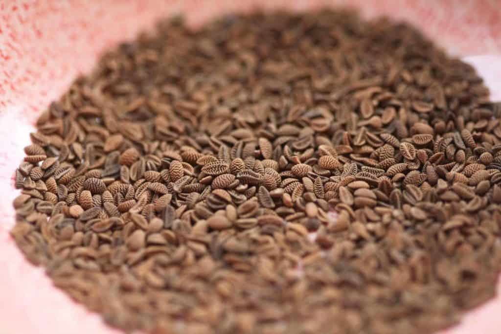 brown phacelia seeds in a pink bowl showing how to grow phacelia
