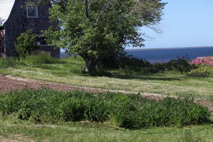daylilies growing in a field
