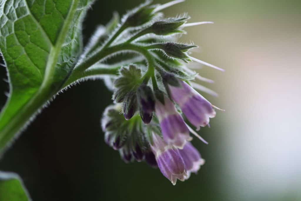 purple comfrey blooms and green leaves against a blurred background