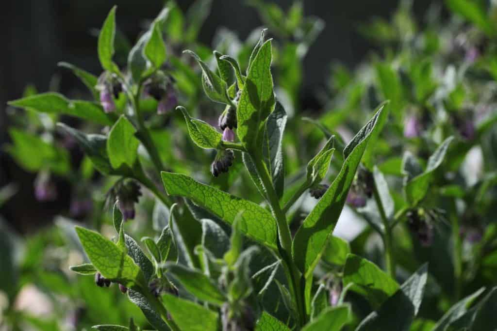 large patch of blooming comfrey growing in the garden