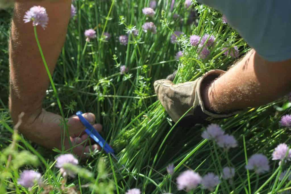 two arms holding and cutting chives in the garden
