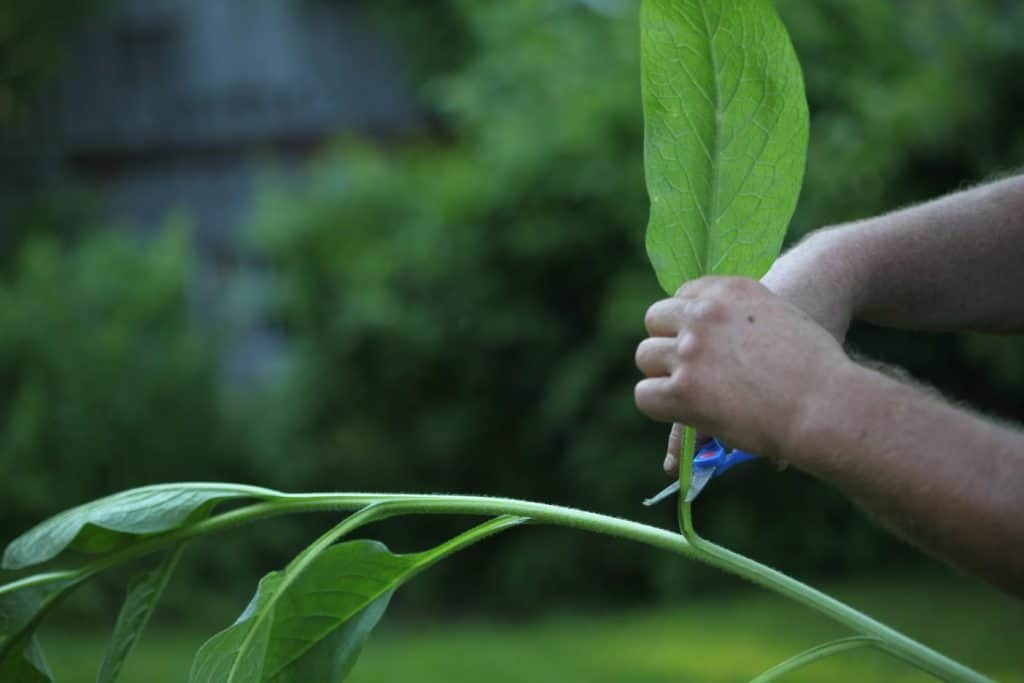hands cutting a leaf