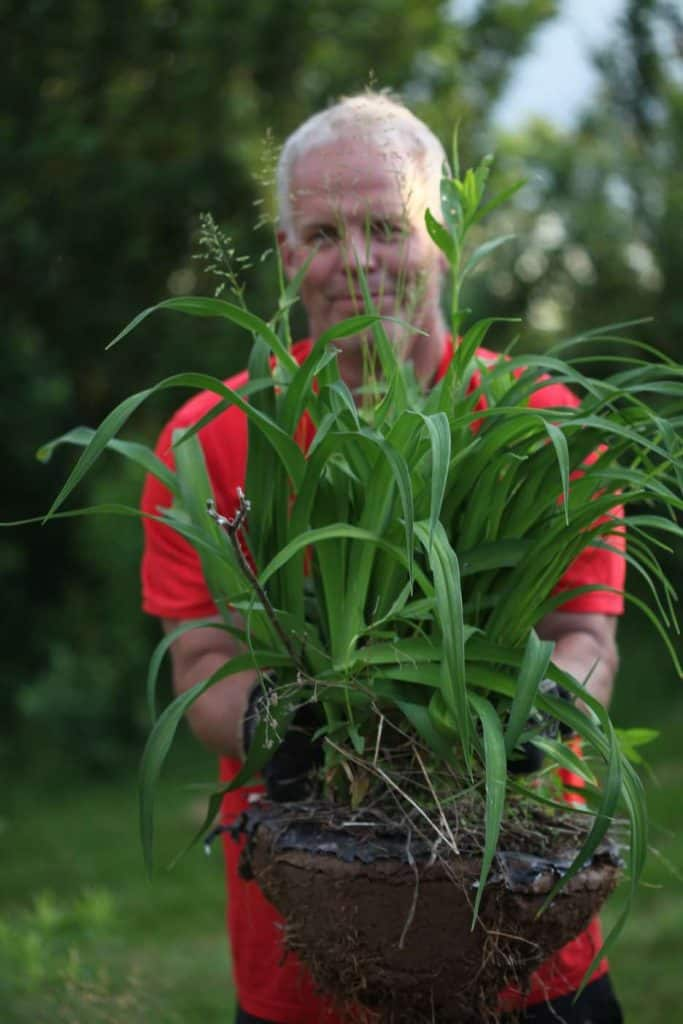 a man in a red shirt holding a daylily clump freshly dug, showing how to transplant daylilies