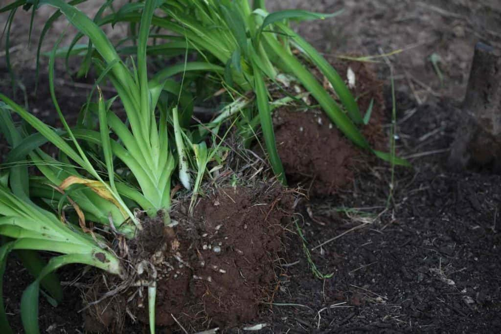 daylily green leaves and roots in brown clumps of soil
