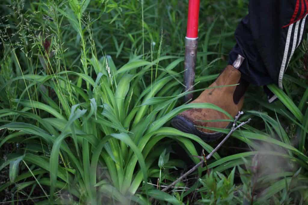 picture of a daylily with a shovel and a boot starting to dig up the plant