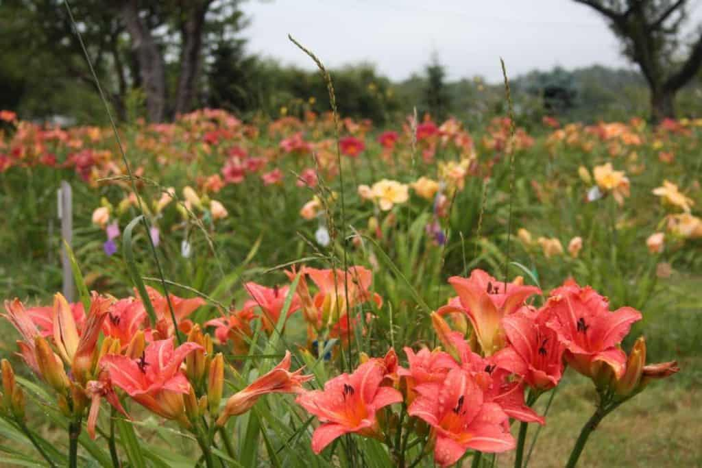 field of colourful daylilies