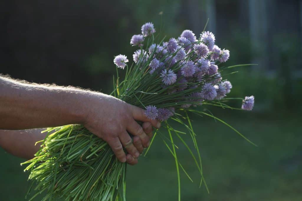 hands holding a bouquet of chives out, reflecting sunshine
