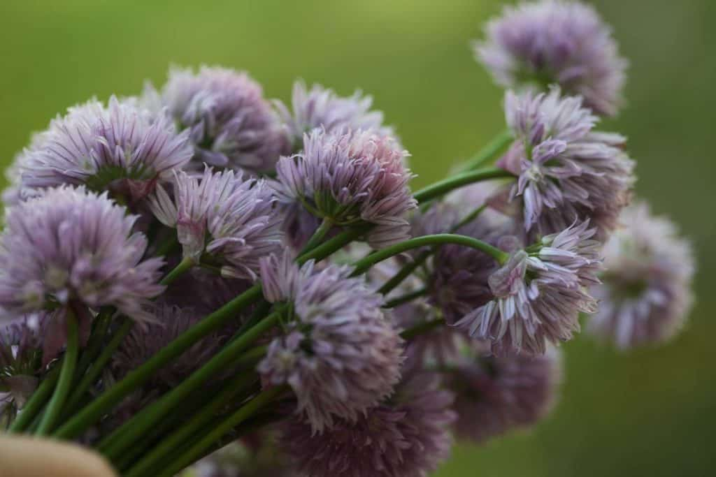 mauve coloured chive bouquet against a green blurred background