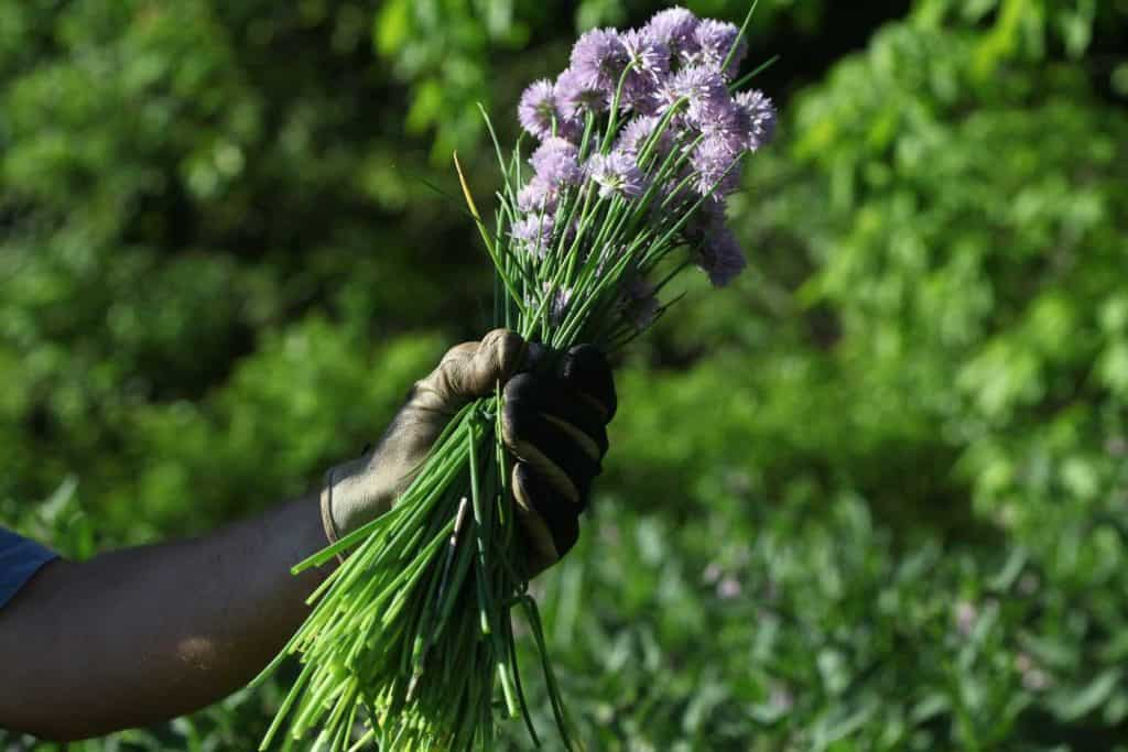 a gloved hand holding freshly harvested chives, showing how to use fresh chives from the garden