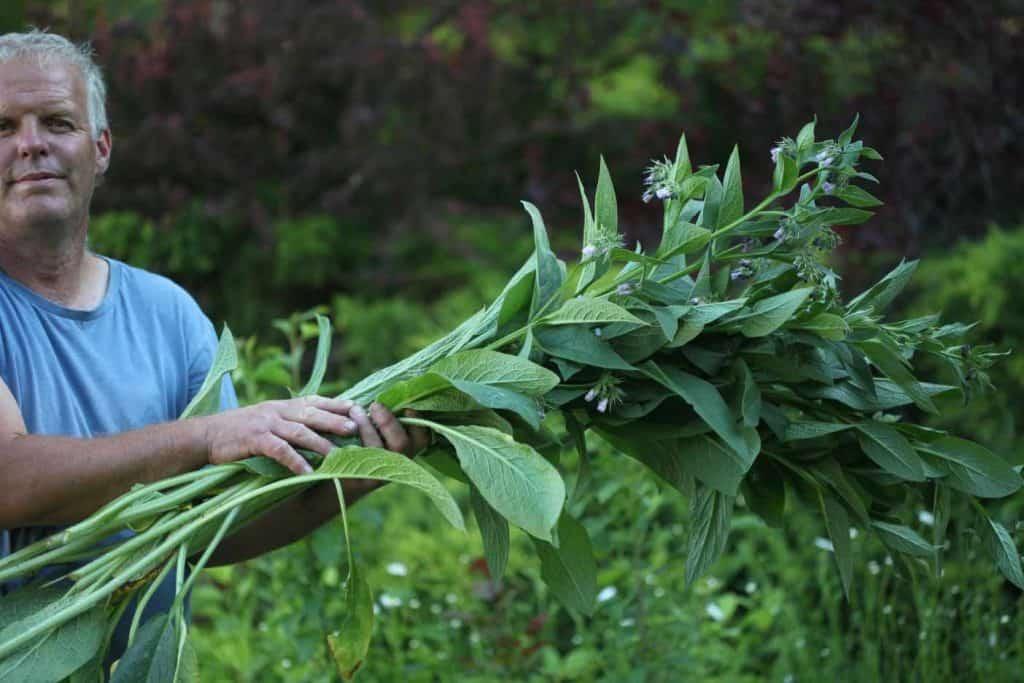 a man holding fresh harvested comfrey in the garden