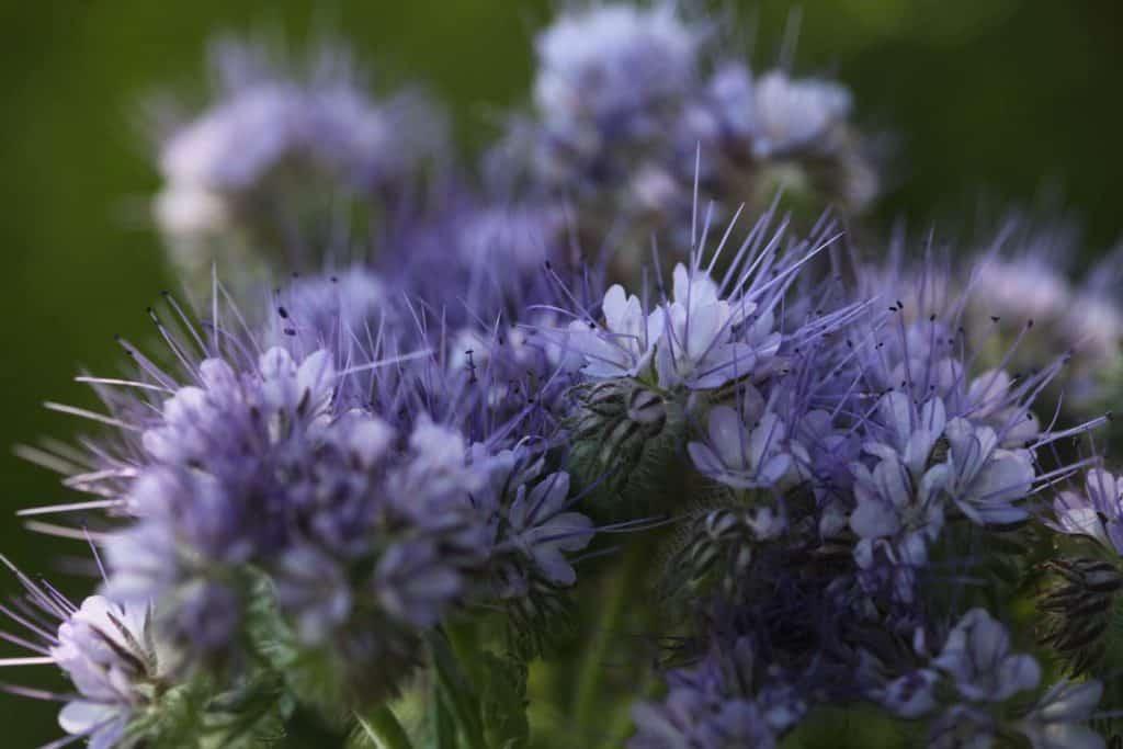 purple blossoms of phacelia plants