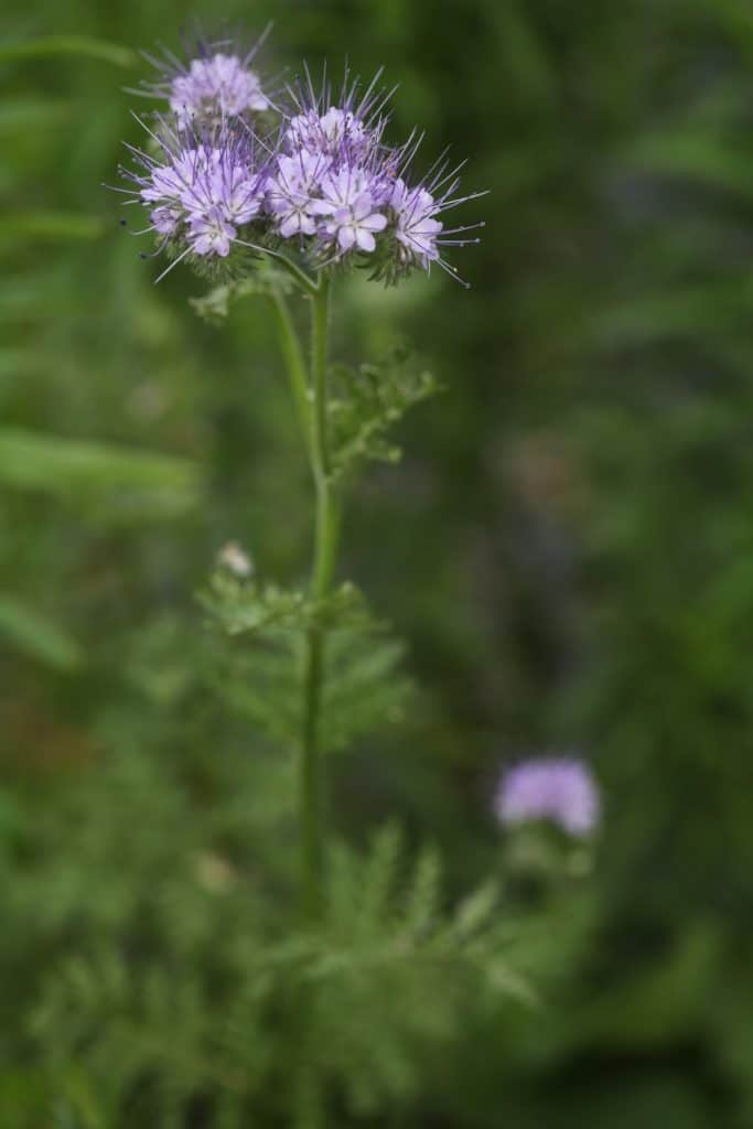 purple spiked blooms against a green blurred background