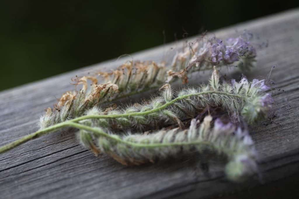 a closeup of phacelia spent blooms on a grey wooden rail