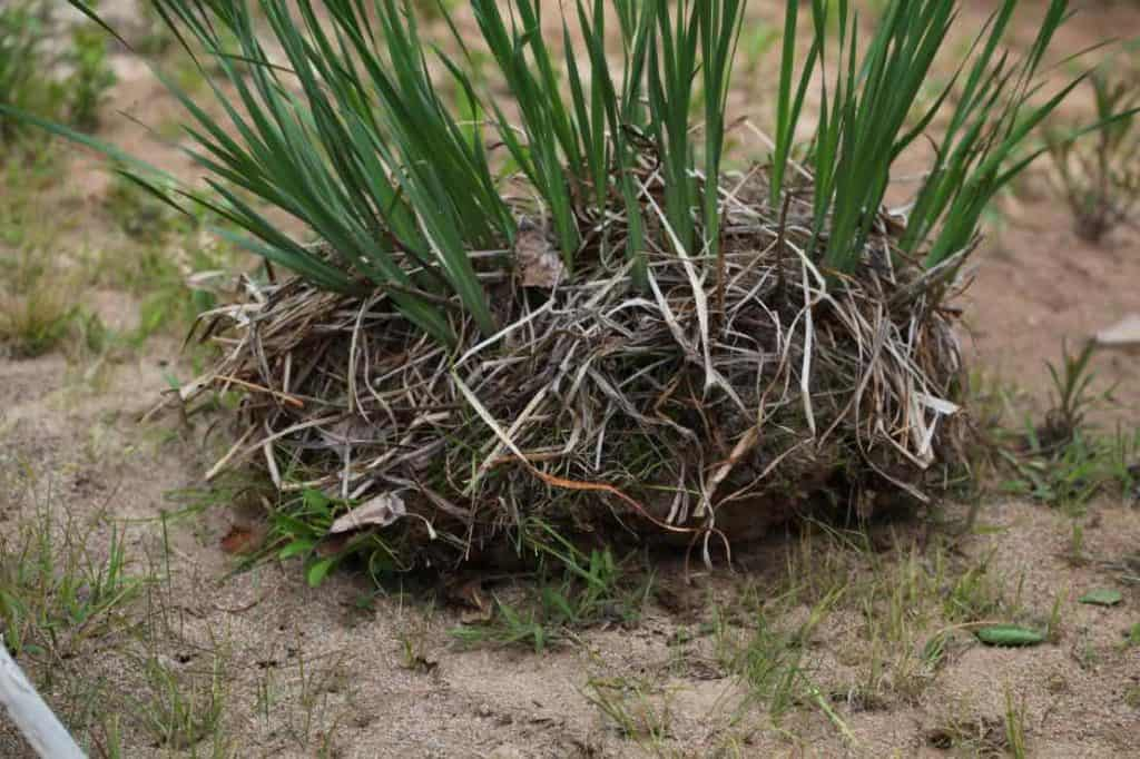 an iris clump lifted, showing how to transplant Siberian iris