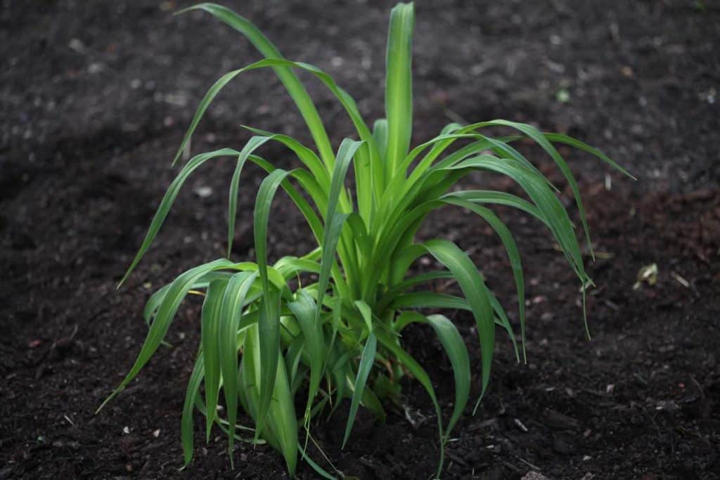 green daylily planted into dark brown soil