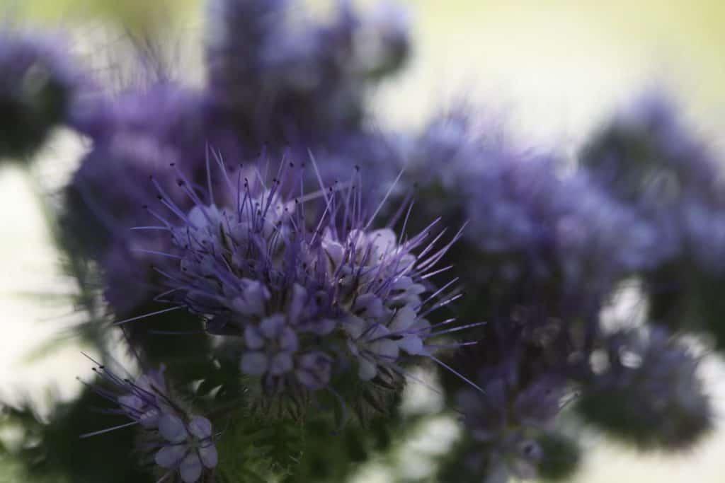 purple spiky blooms