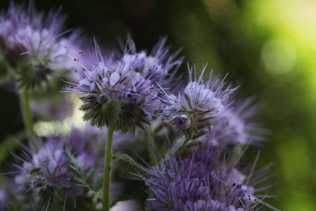 purple phacelia blooms against a green blurred background