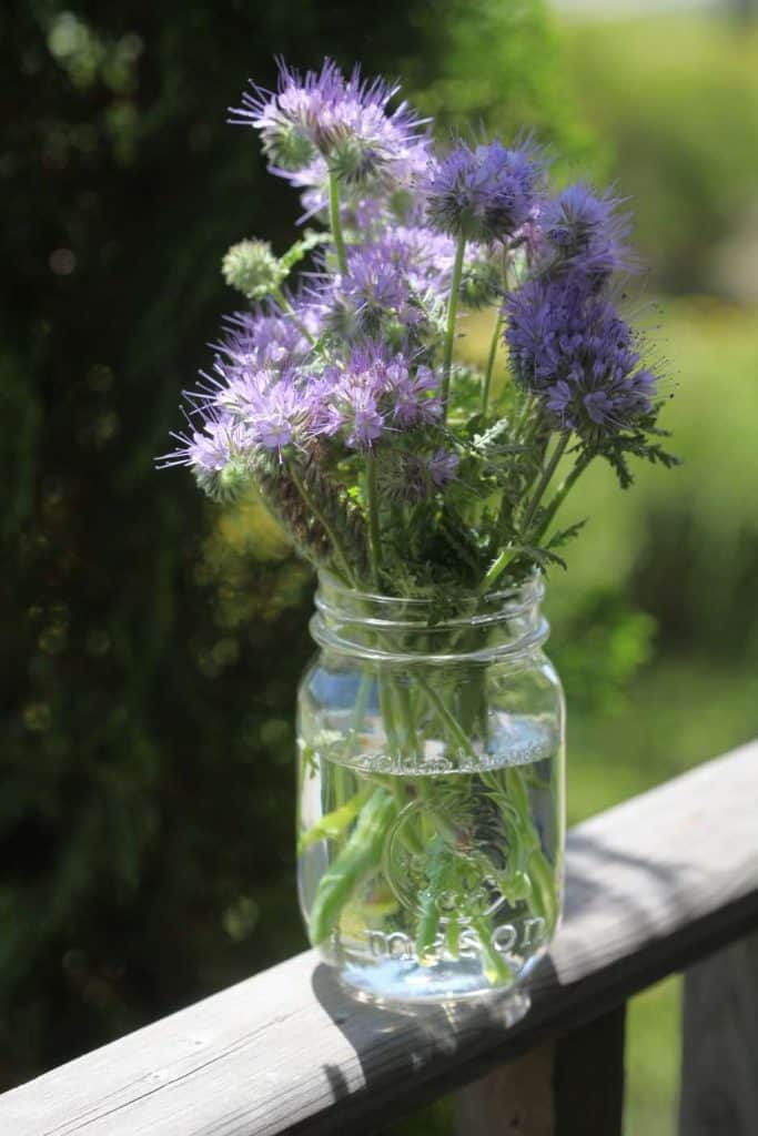 mason jar with phacelia flowers on a wooden railing outside, against a green blurred background