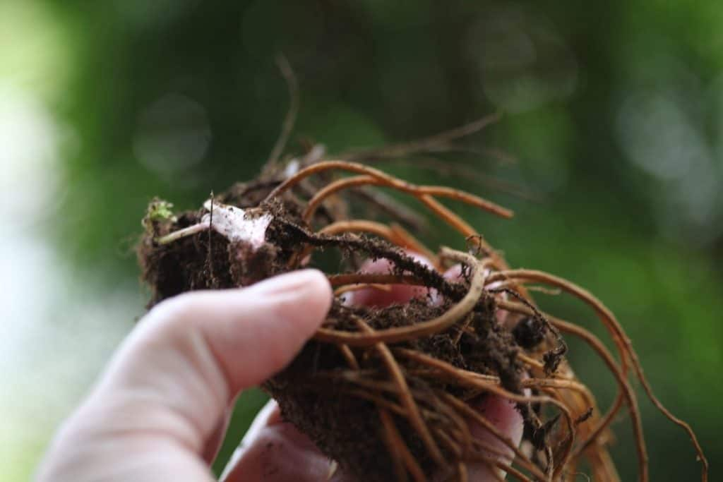 Queen of the prairie plant being held up by a hand prior to planting