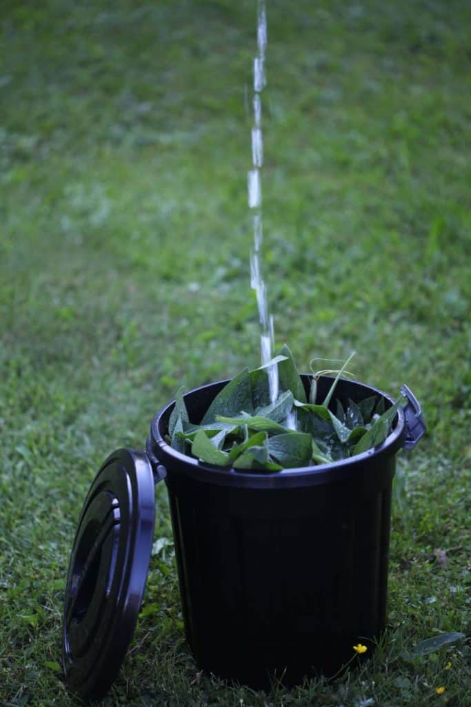 a black bucket with comfrey leaves being filled with water