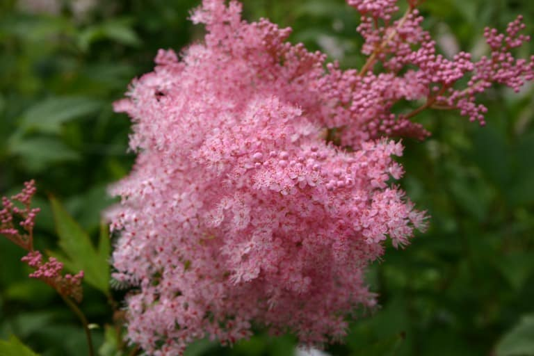 pink queen of the prairie blooms