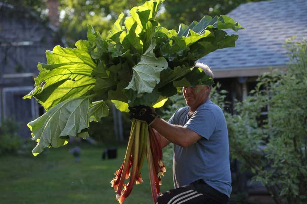 a man holding a large bunch of freshly harvested rhubarb