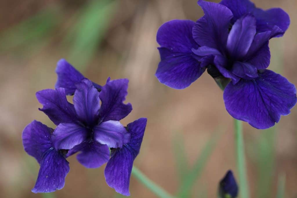 two purple Siberian iris blooms with a blurred background