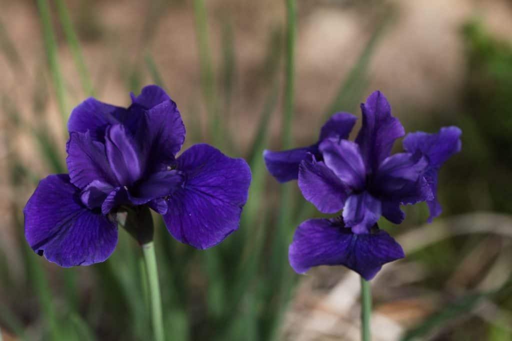 two purple irises growing in the garden