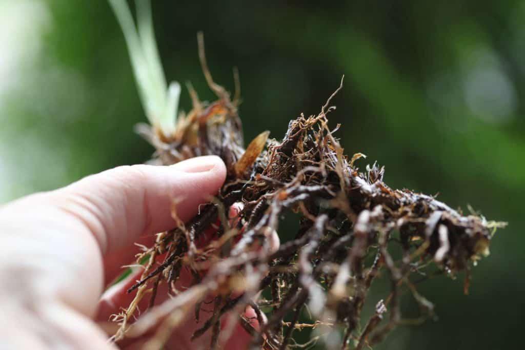 Siberian iris rhizome and roots