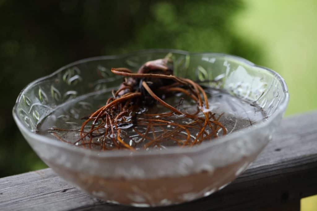 a glass bowl with water and Queen of the prairie roots, showing how to plant Queen of the prairie