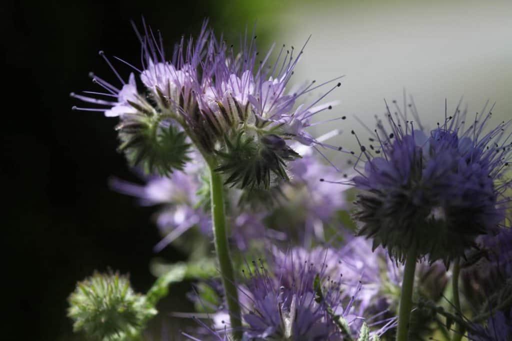 phacelia in the garden