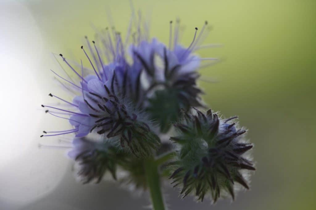 phacelia blooms against a green blurred background