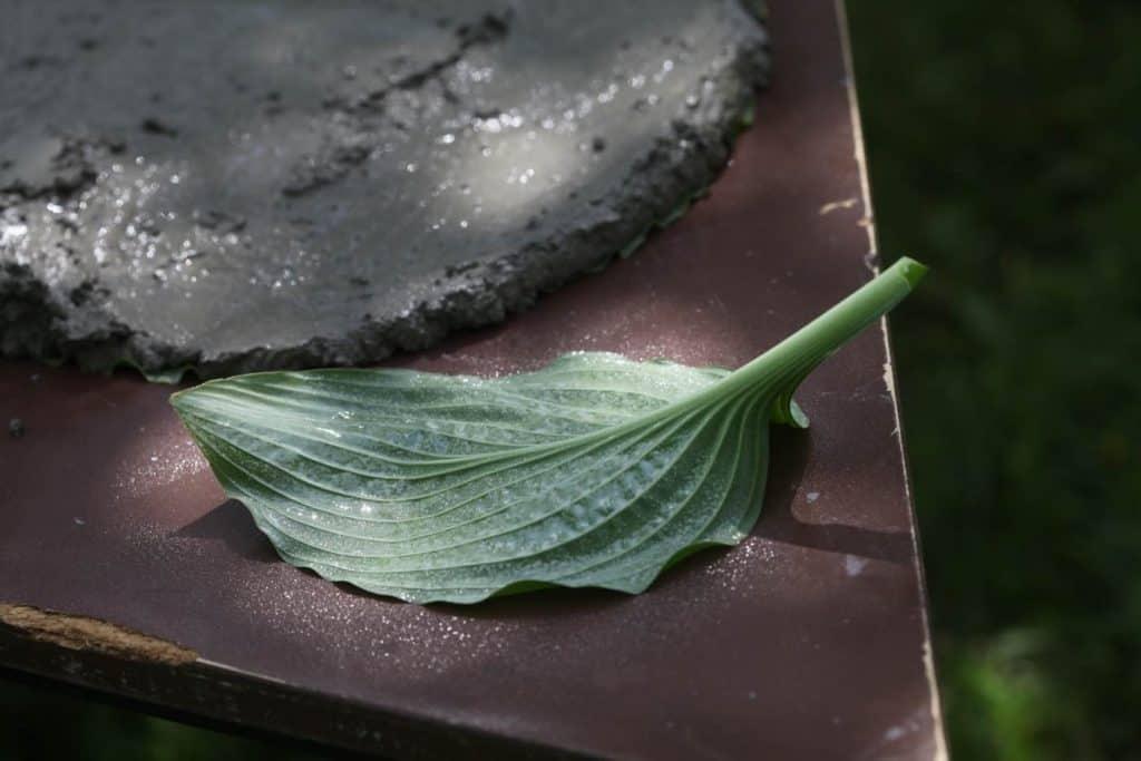 a hosta leaf on a table sprayed with cooking spray