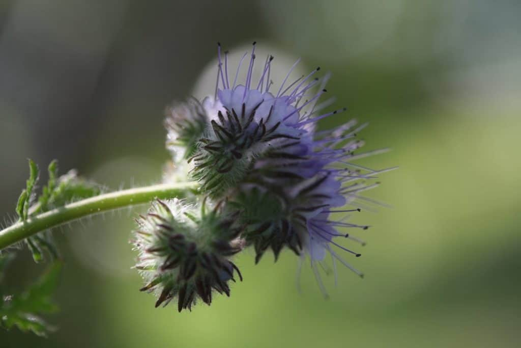 purple furling blooms against a green blurred background