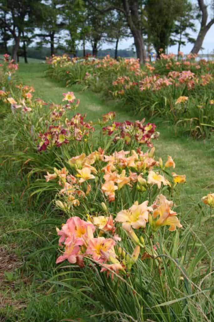 large groupings of daylilies in the garden