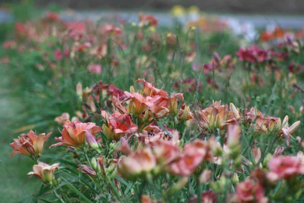 a field of colourful daylilies with a blurred background