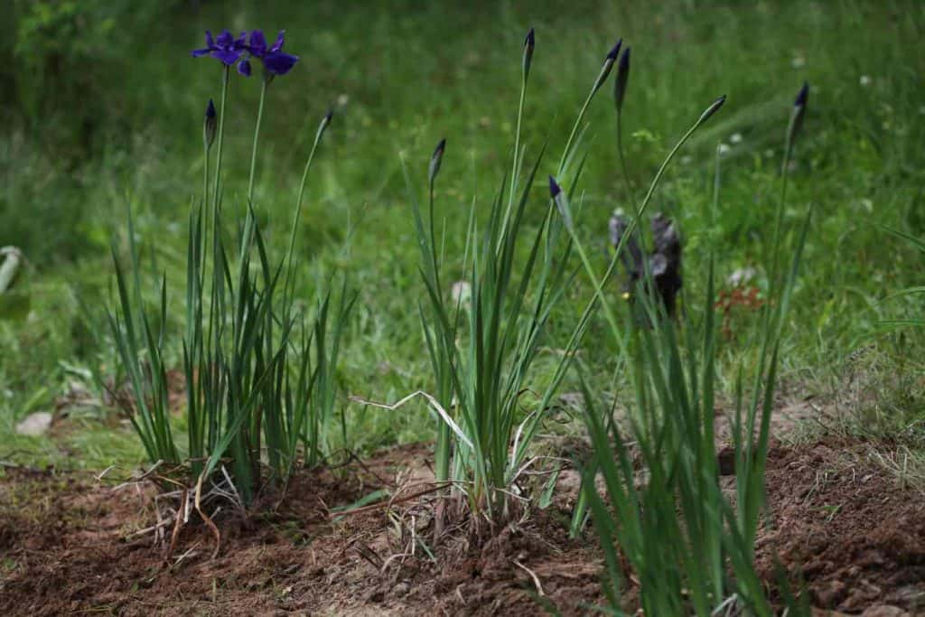 iris transplanted into three separate clumps