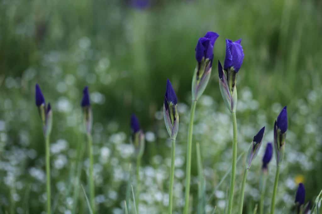 purple Siberian iris buds against a blurred background