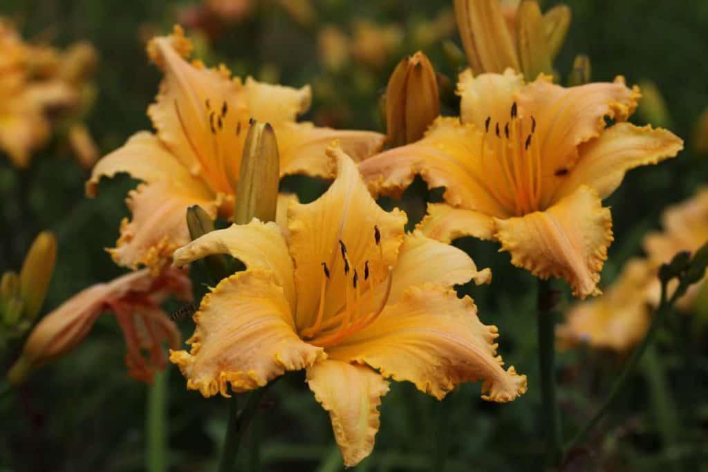 yellow and orange daylily seedlings