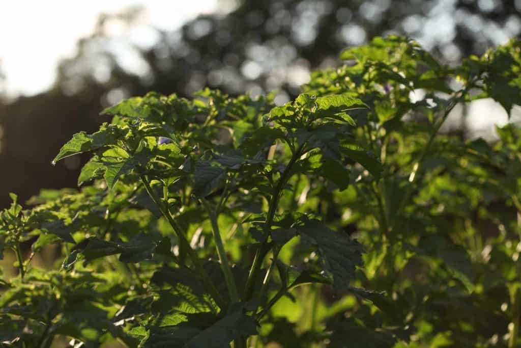 green leaves on a green plant with sunlight shining through the leaves