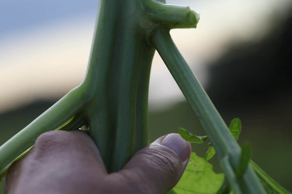 a hand holding up an Apple Of Peru thick centre stalk