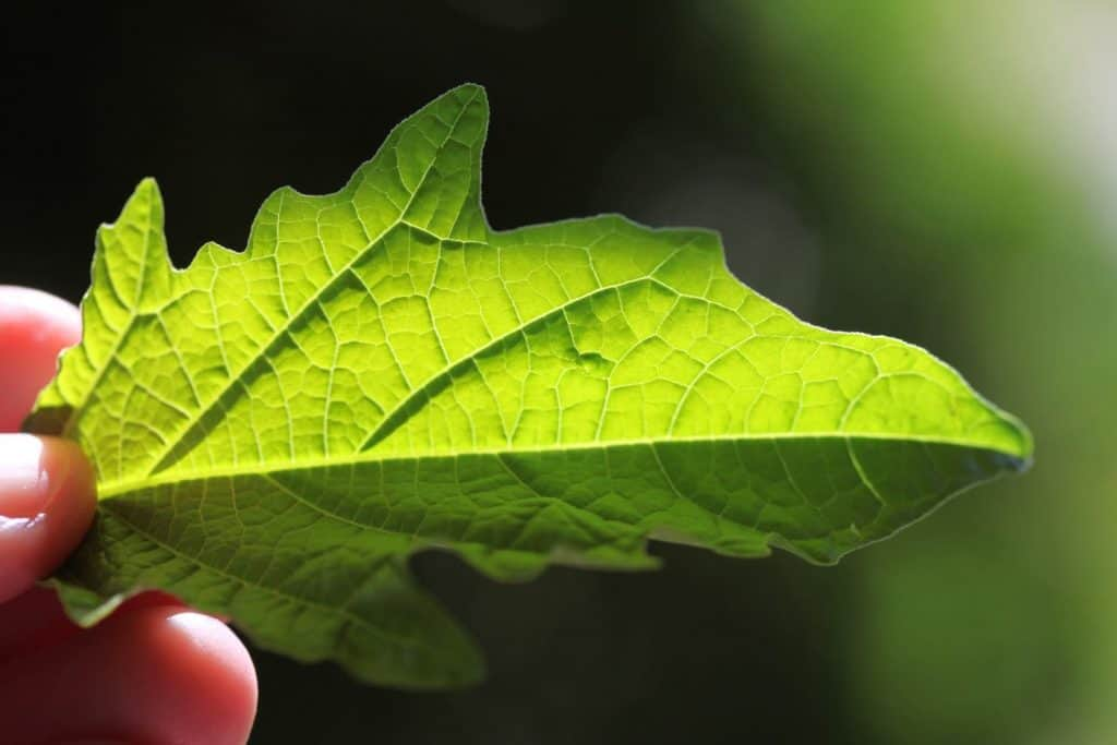 hand holding a green Apple Of Peru leaf with the sunshine shining through the leaf, showing the veins
