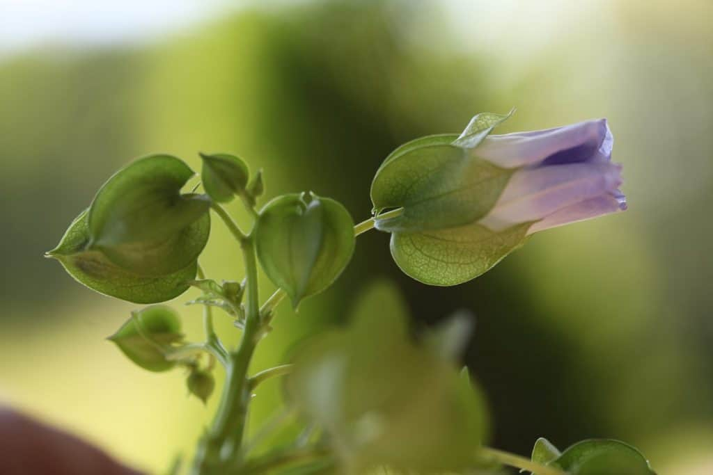 lavender Apple Of Peru bloom and green calyxes in different stages of growth, against a green blurred background