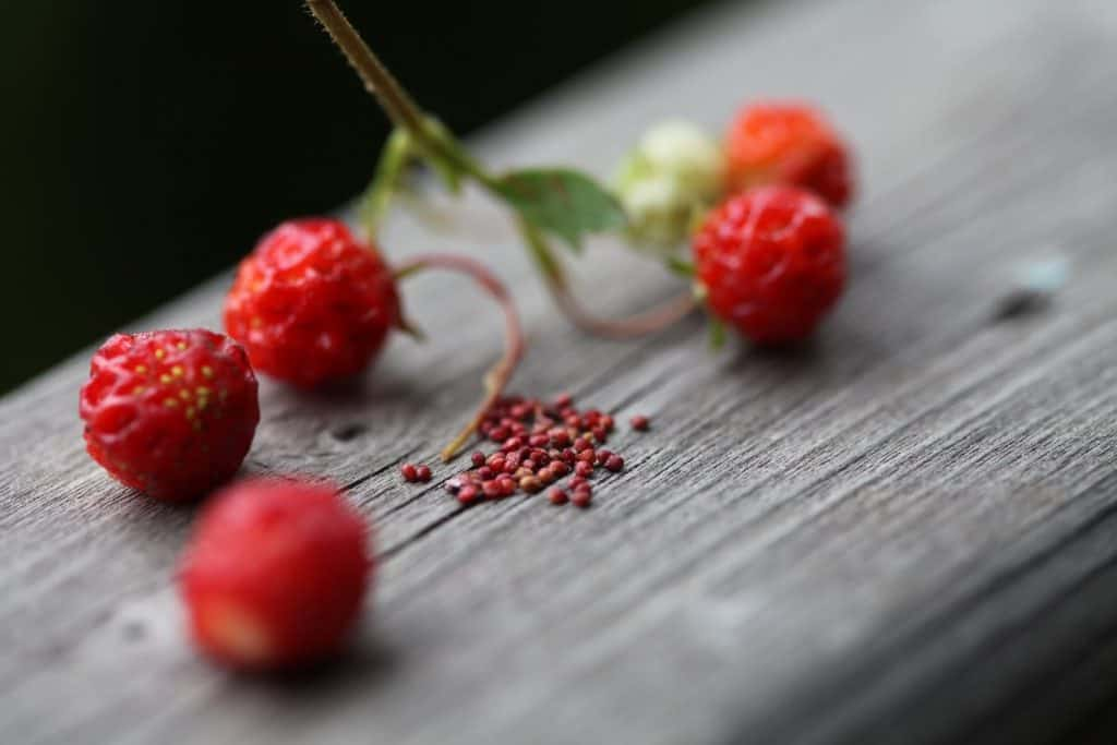 wild strawberries and seeds on a wooden railing, showing how to grow wild strawberries
